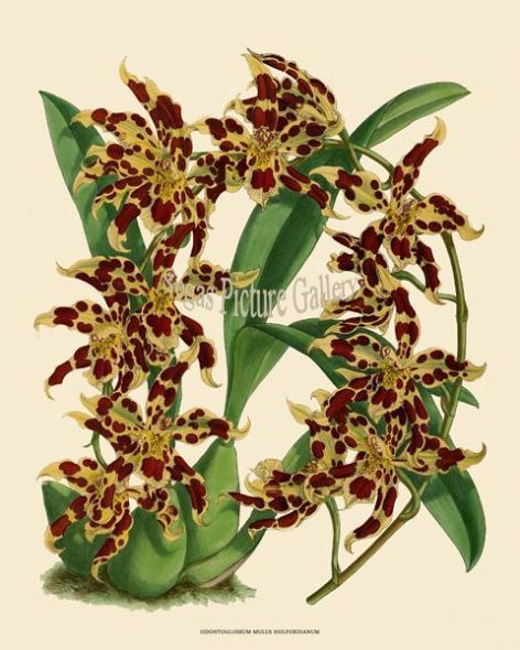Fine art print of the Orchid Odontoglossum Mulus Holfordianum by John Nugent Fitch